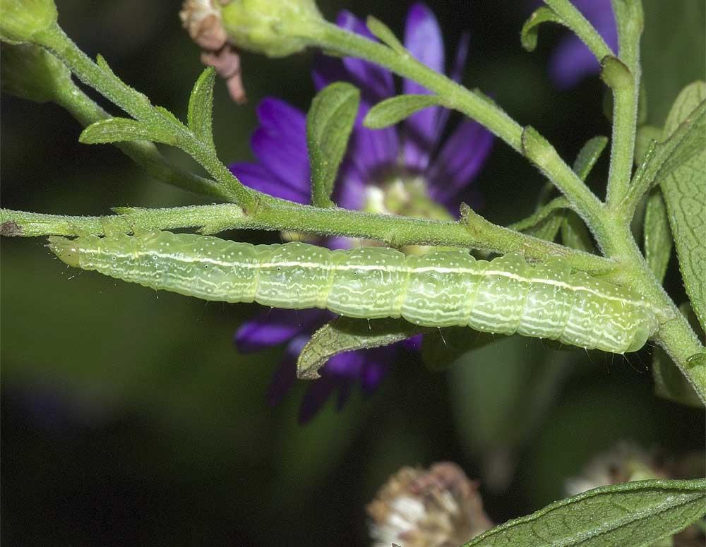 エゾギクキンウワバの幼虫(終齢)1