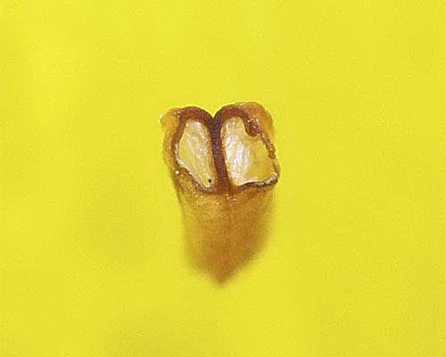 西洋シャクナゲ(クリソマニカム)の葯2