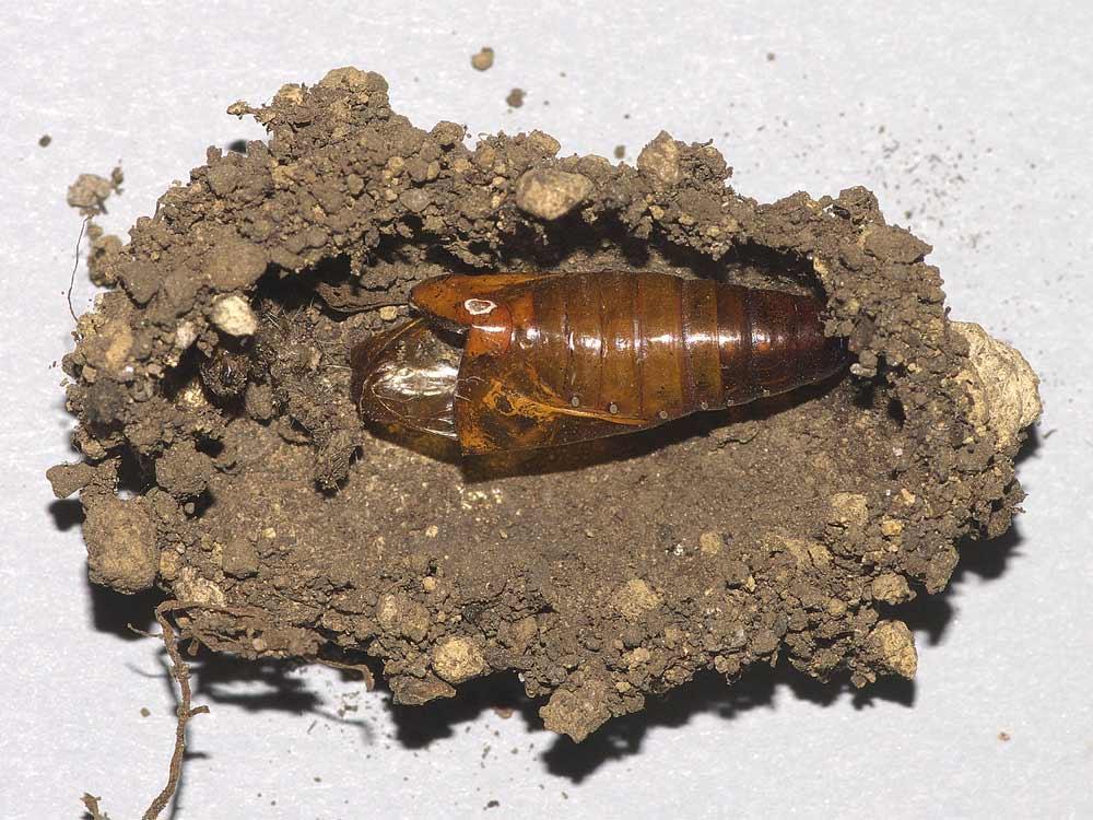 オオタバコガの蛹殻