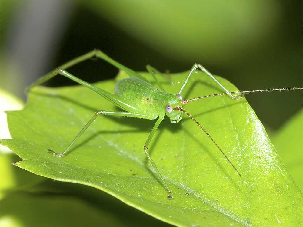 サトクダマキモドキの幼虫(3齢)5