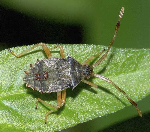 ハリカメムシの幼虫(5齢:終齢)