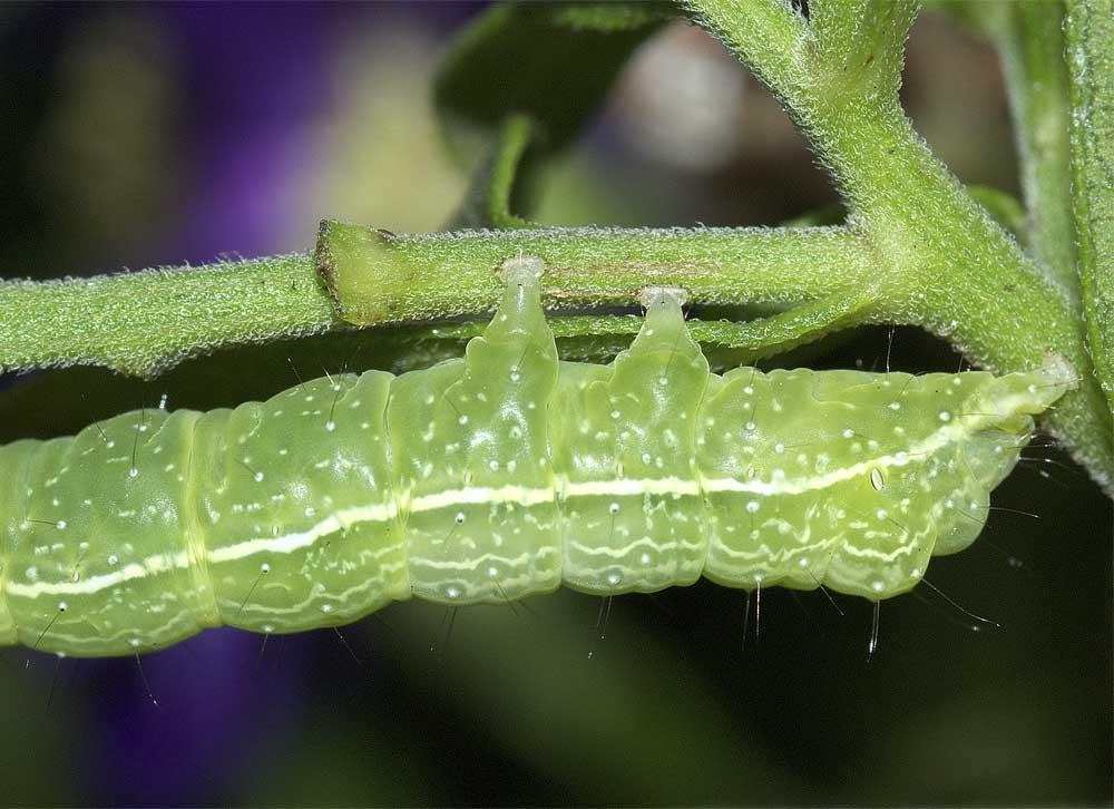 エゾギクキンウワバの幼虫(終齢)4