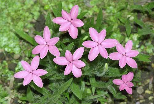 アッツザクラの花