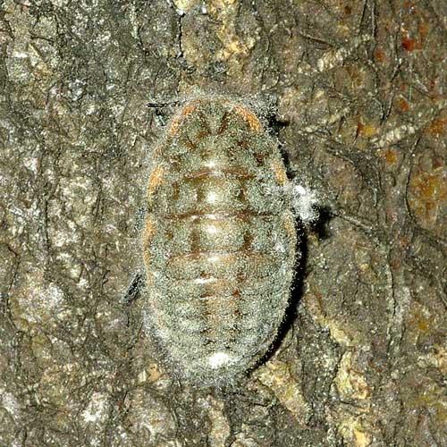 オオワラジカイガラムシ(雌成虫)