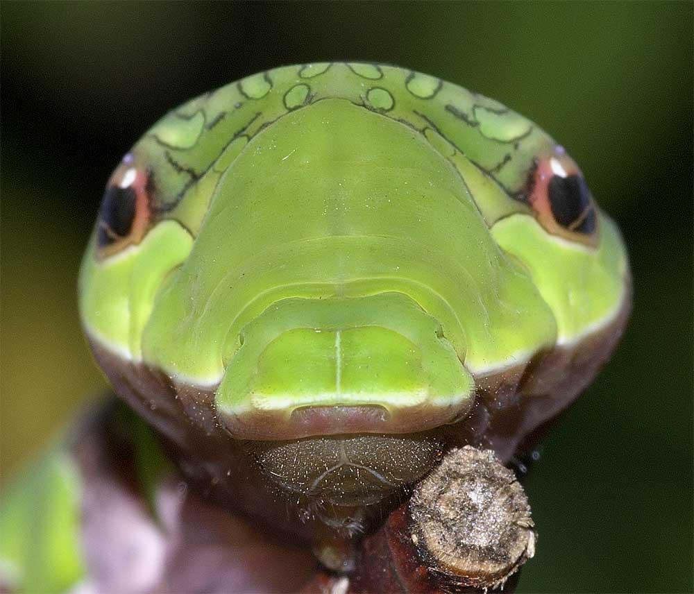 クロアゲハの終齢幼虫6