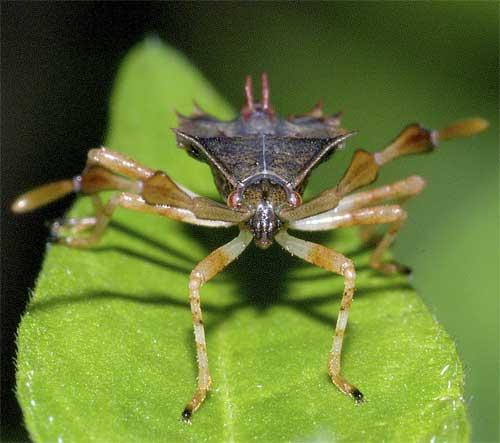 ハリカメムシの幼虫(5齢:終齢)3