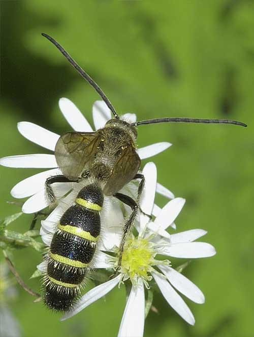 キンケハラナガツチバチの雄1