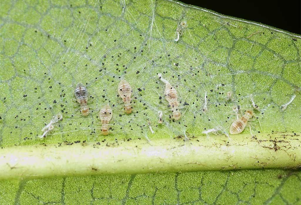 チャタテムシの幼虫(3齢と4齢)1