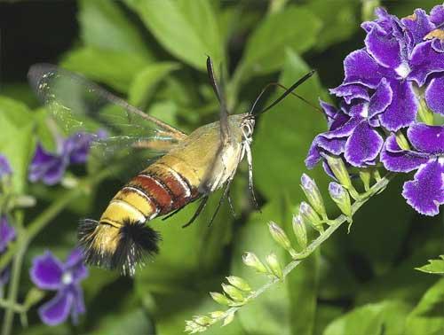 デュランタ・タカラズカで吸蜜するオオスカシバ