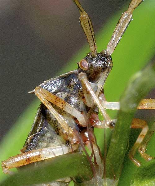 ハリカメムシの幼虫(5齢:終齢)4
