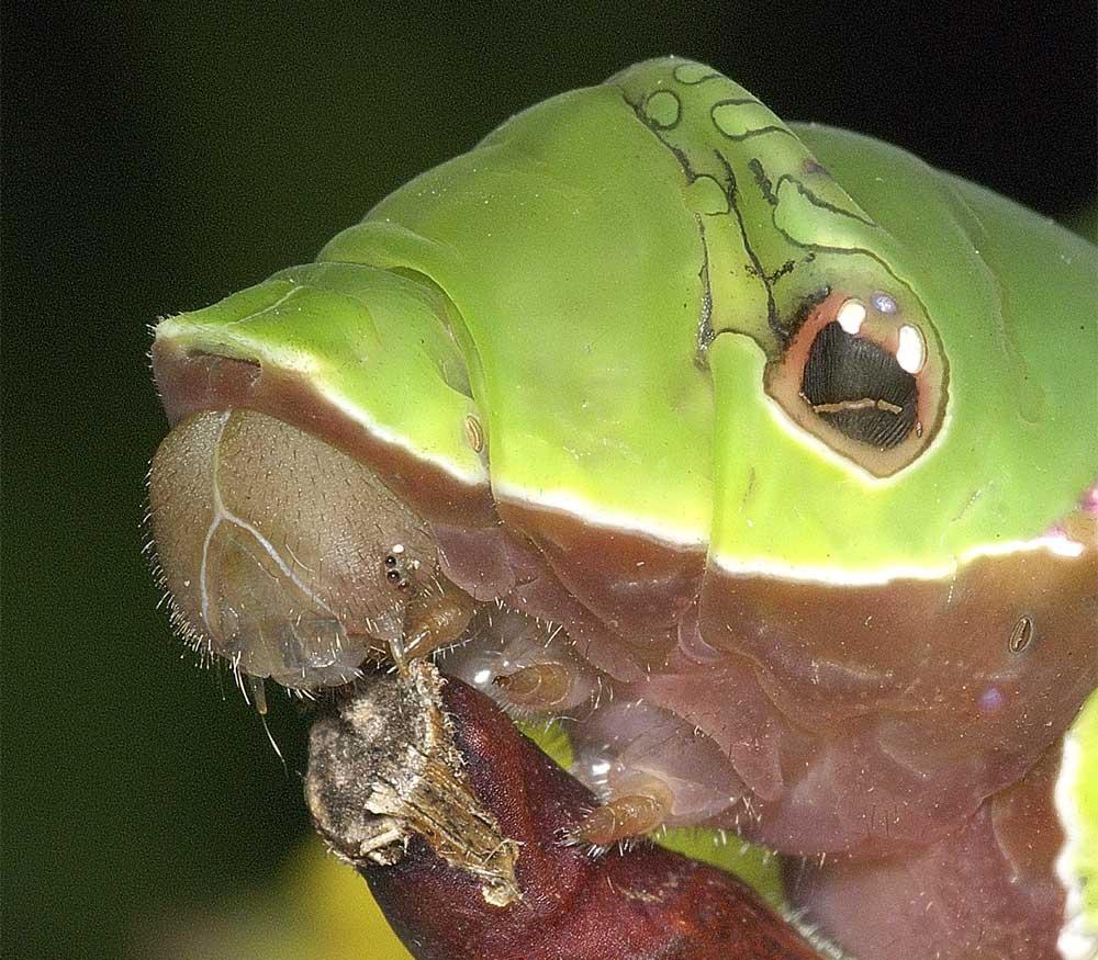 クロアゲハの終齢幼虫8