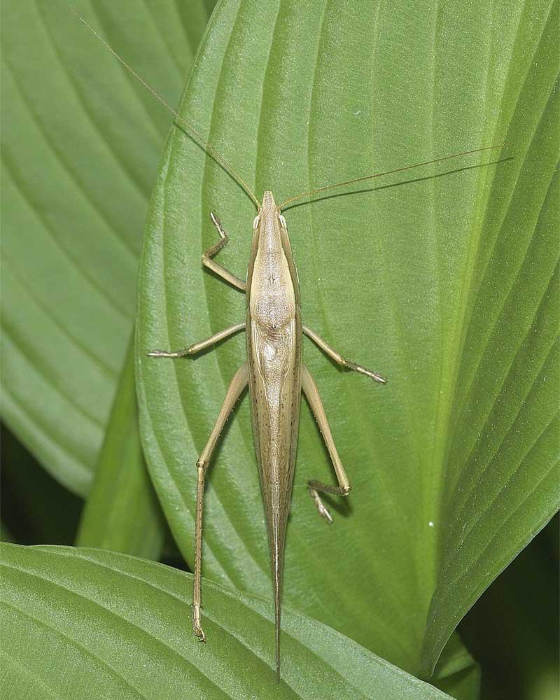 クビキリギス(褐色型)1