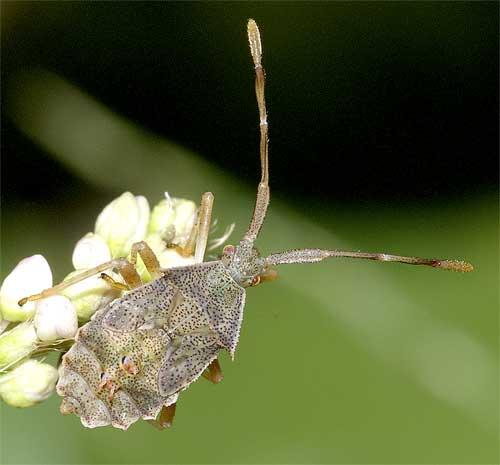 ハリカメムシの幼虫(5齢:終齢)5