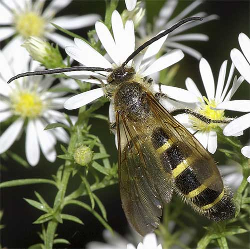 キンケハラナガツチバチの雄2