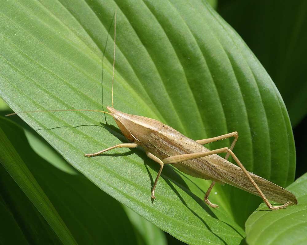 クビキリギス(褐色型)2