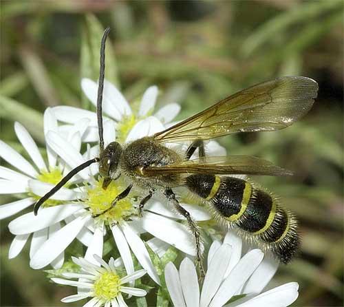 キンケハラナガツチバチの雄3