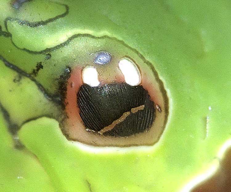 クロアゲハの終齢幼虫10