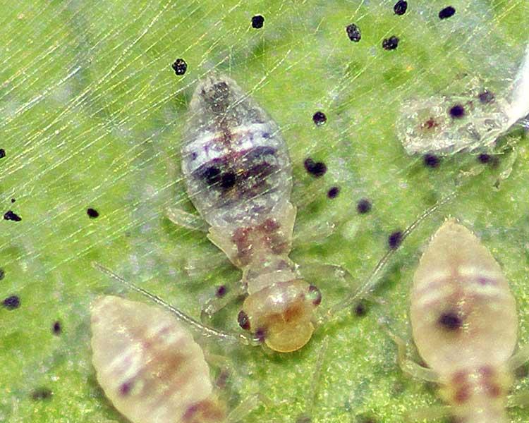 チャタテムシの幼虫(4齢)