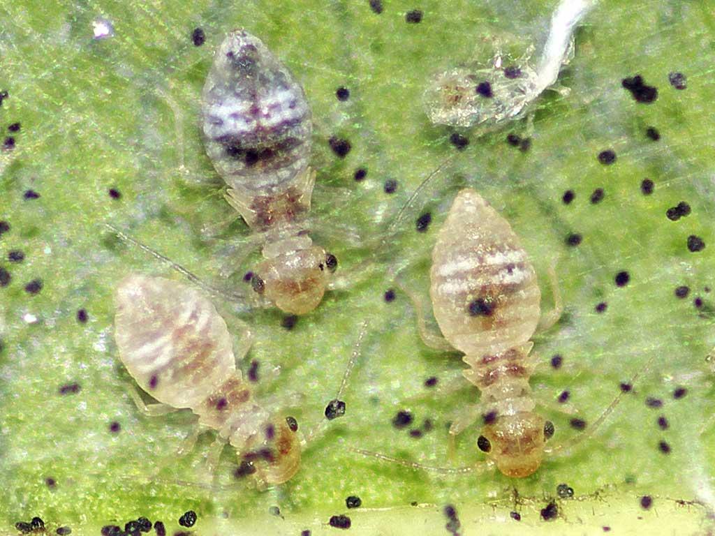 チャタテムシの幼虫(3齢と4齢)2