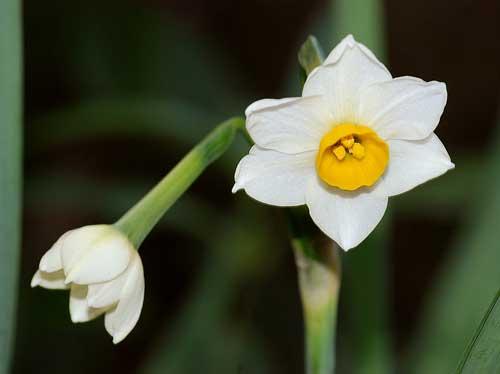 ニホンズイセンの花1