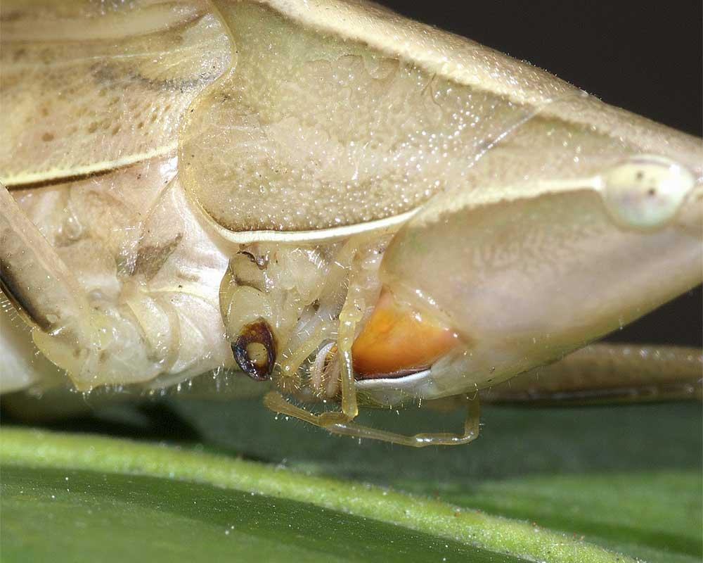 クビキリギス(褐色型)4