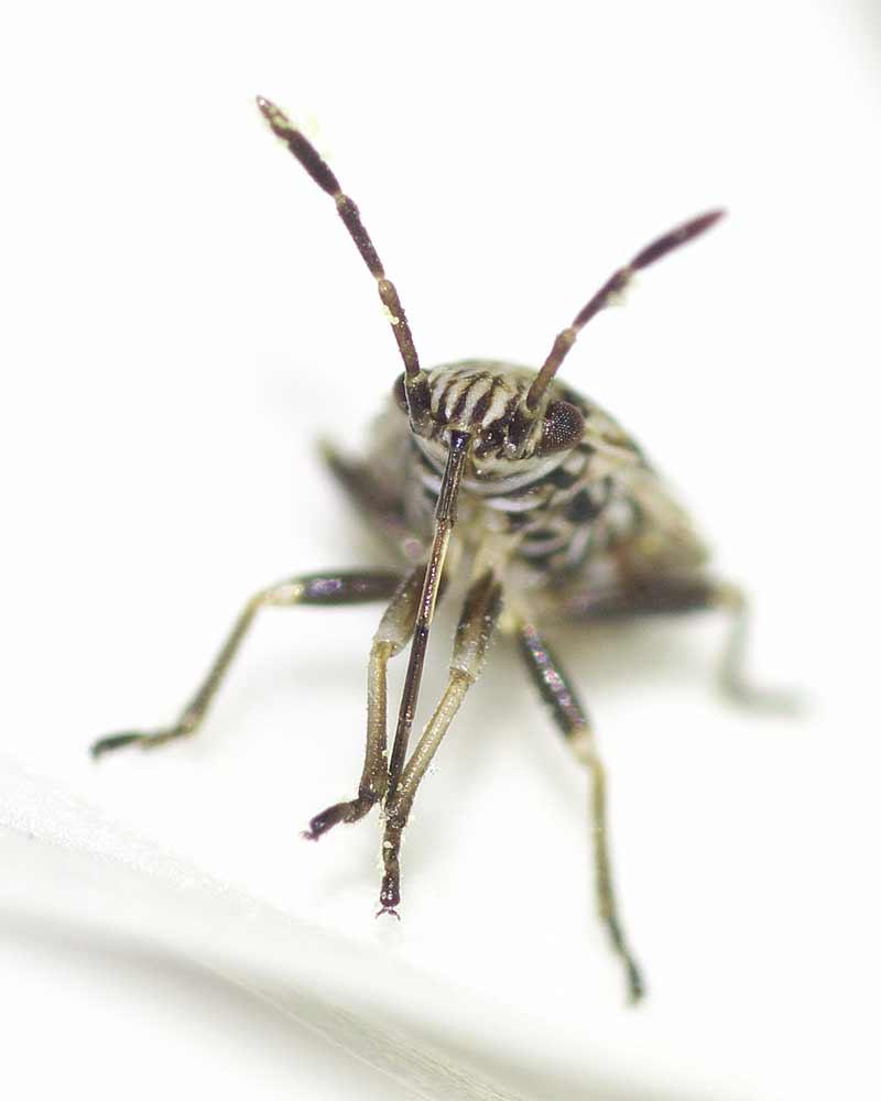 ヒメナガカメムシの幼虫(終齢)6