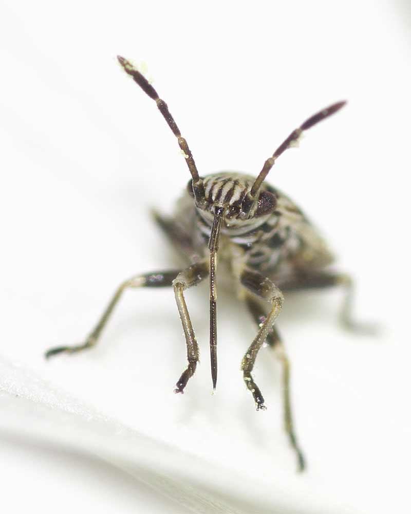 ヒメナガカメムシの幼虫(終齢)7
