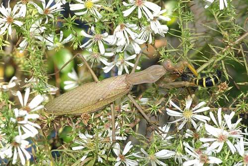 ハラビロカマキリ(捕食1)