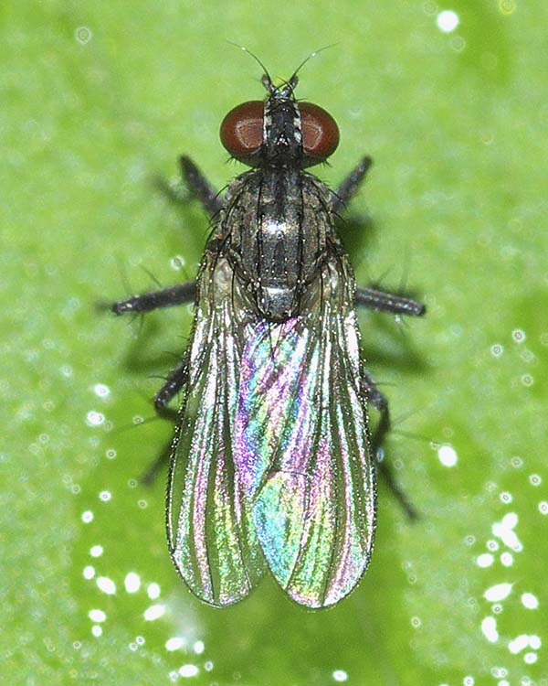 アシマダラハナレメイエバエ(雌)1