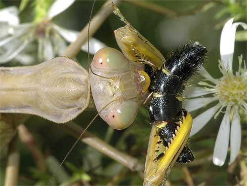 ハラビロカマキリ(捕食4)