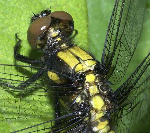 オオシオカラトンボ(雌)2