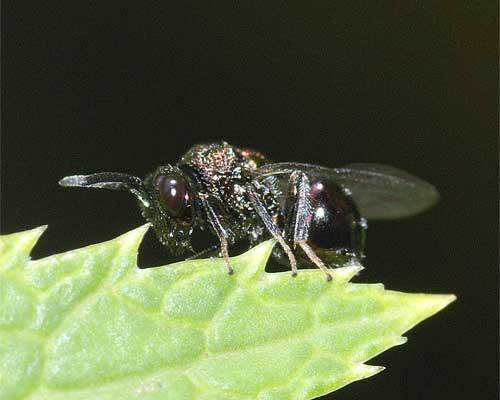 ハチの1種(セイボウ類?)3