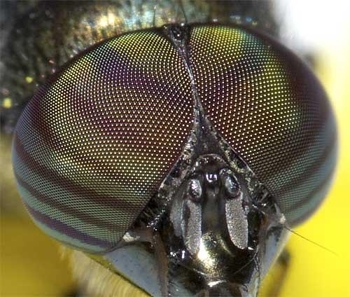 ツマグロキンバエの複眼1