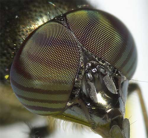 ツマグロキンバエの複眼2
