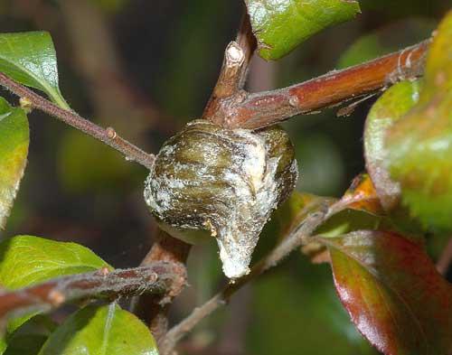 ハラビロカマキリの卵塊