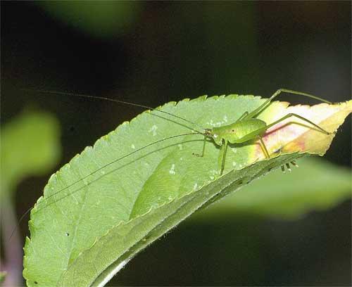 サトクダマキモドキの幼虫3_5