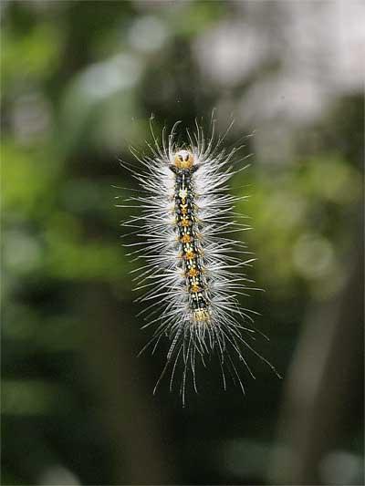 マイマイガの幼虫(ブランコ毛虫)