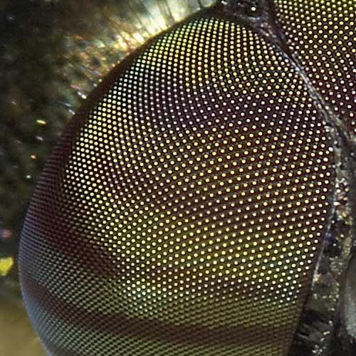 ツマグロキンバエの複眼3