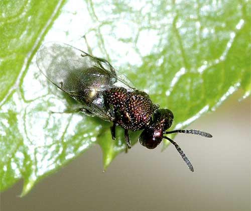 ハチの1種(セイボウ類?)5
