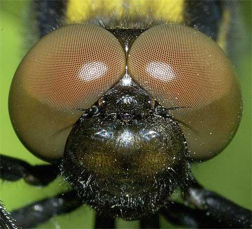 オオシオカラトンボ(雌)4