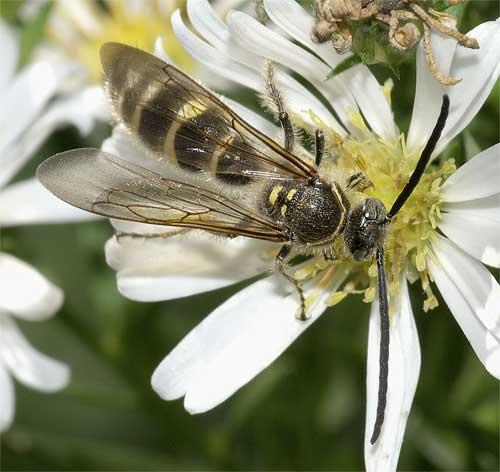 ヒメハラナガツチバチ(雄)1