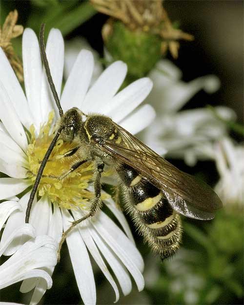 ヒメハラナガツチバチ(雄)2