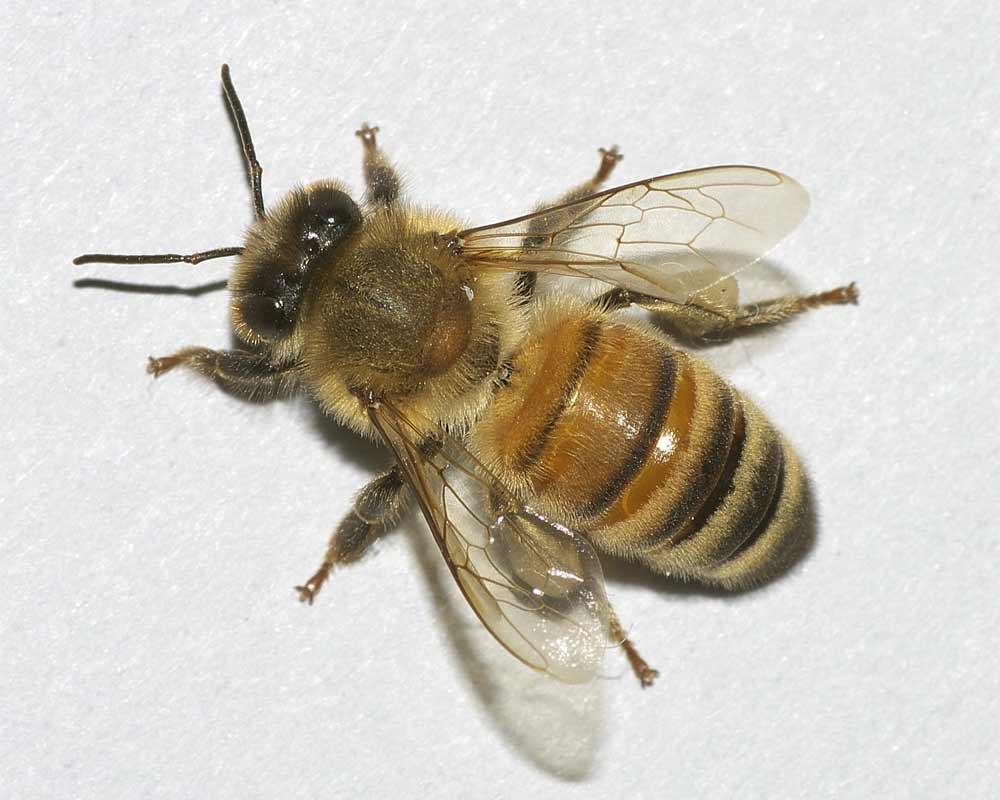 セイヨウミツバチ1