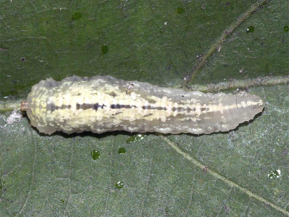 マガイヒラタアブの幼虫(3齢)1