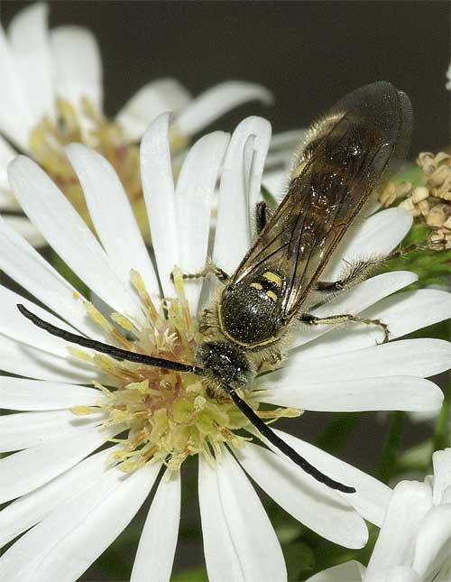 ヒメハラナガツチバチ(雄)3