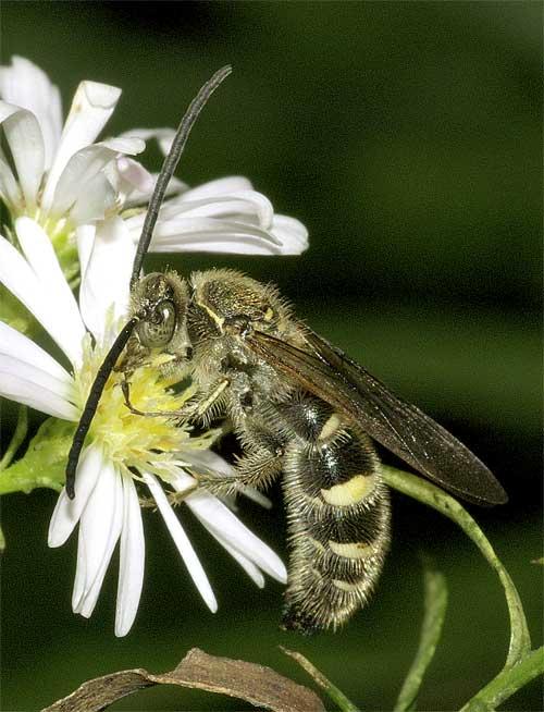 ヒメハラナガツチバチ(雄)4