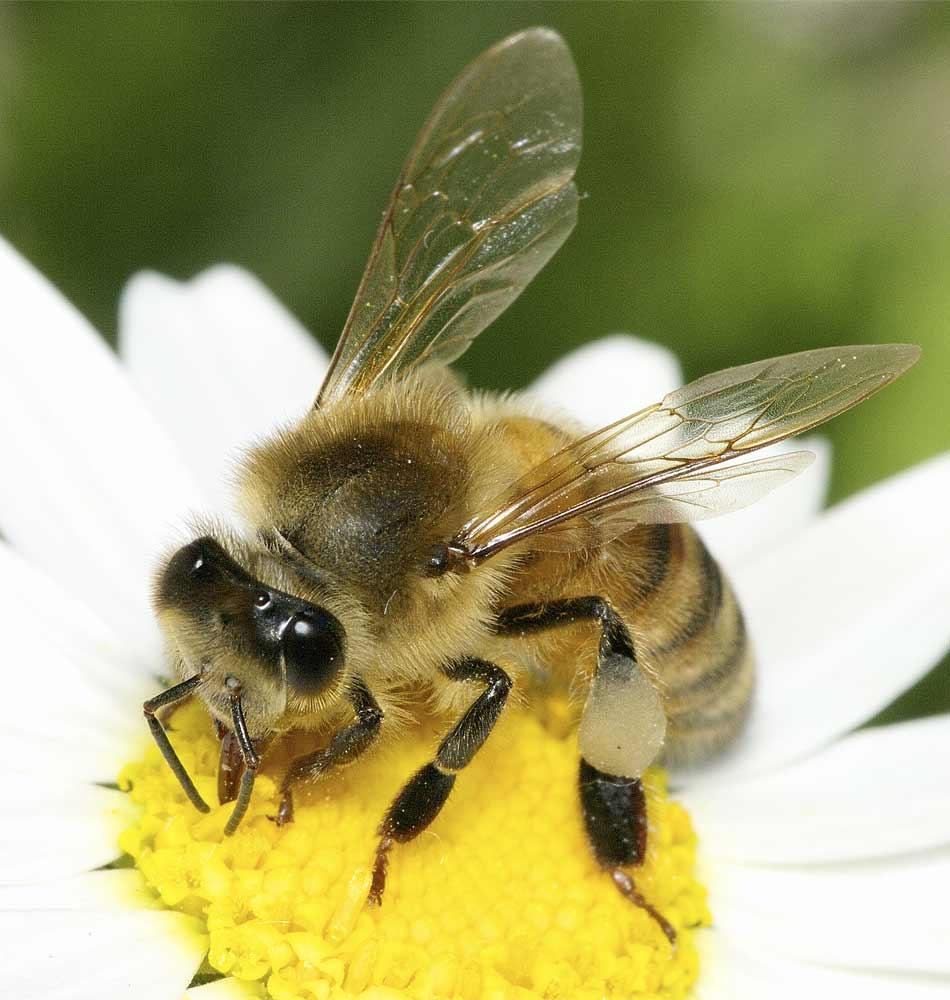 セイヨウミツバチ3