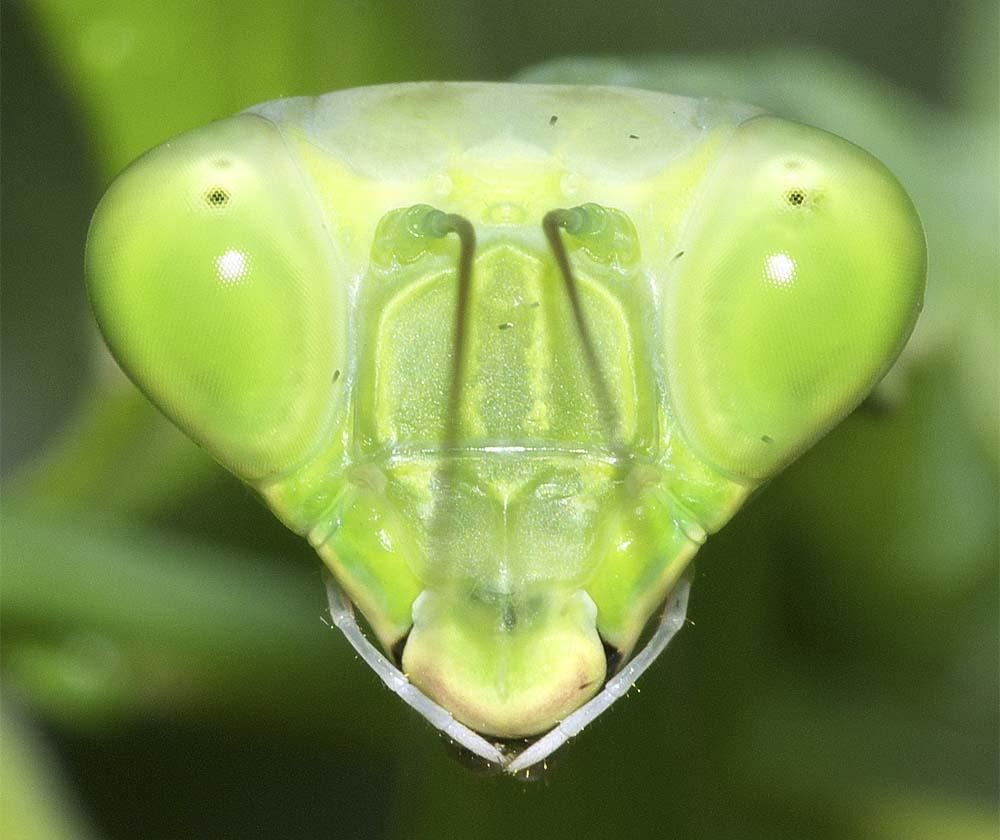 ハラビロカマキリの幼虫(終齢)4