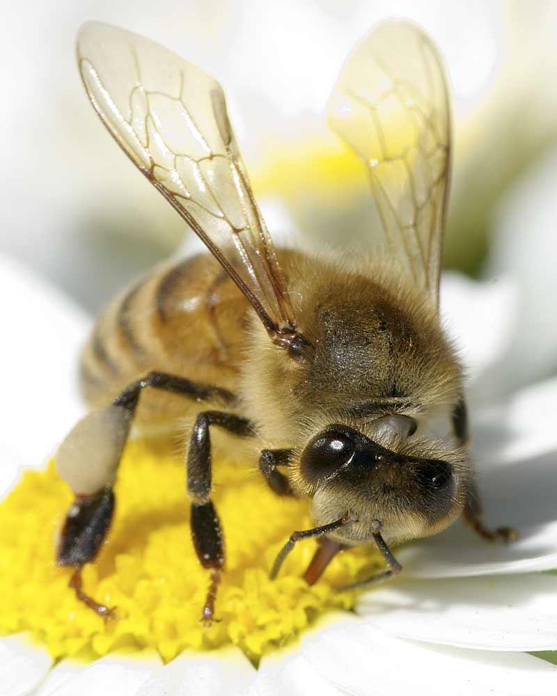 セイヨウミツバチ4