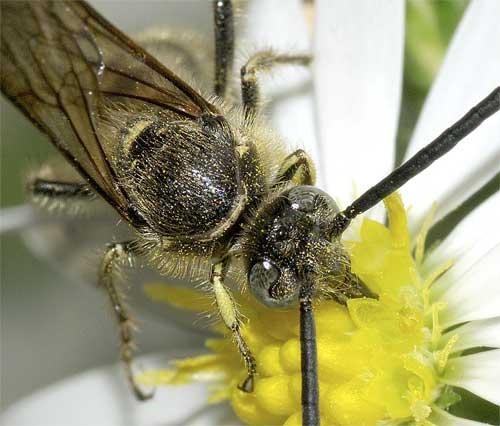ヒメハラナガツチバチ(雄)5